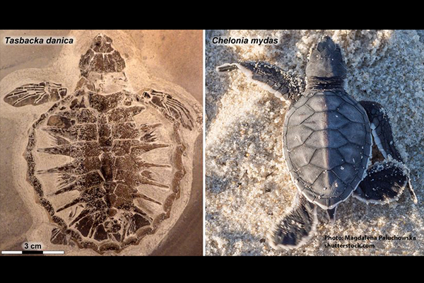 Keratin, pigment, proteins from 54 million-year-old sea turtle show survival trait evolution