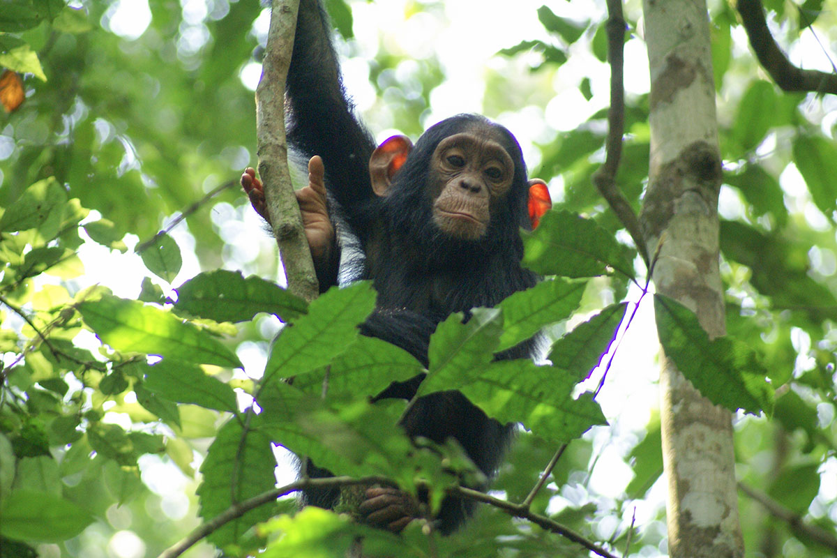 Chimps are now dying of the common cold and they are all at risk