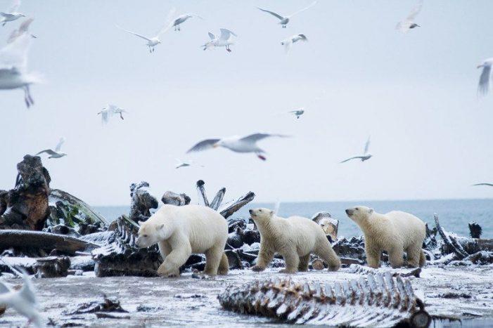 The passengers: Is warming really killing antarctic bears?