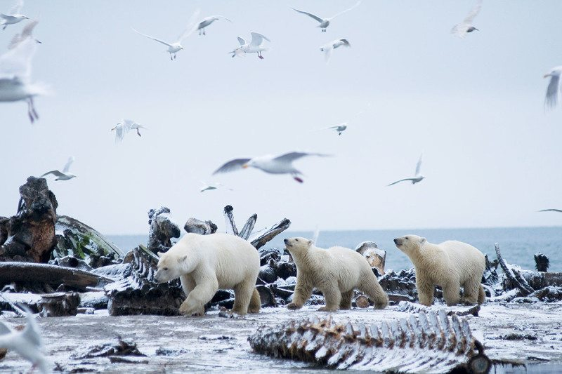 The passengers: Is warming really killing antarctic bears?