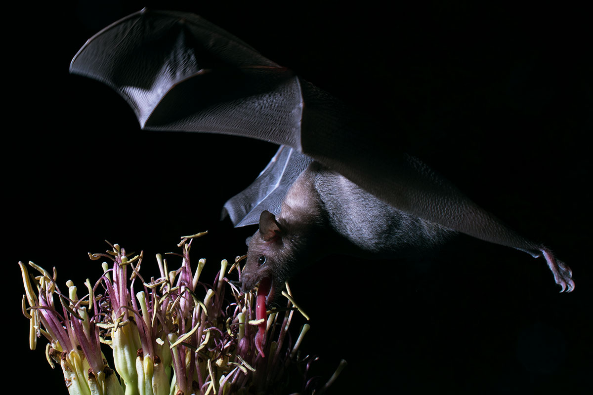 Bats' hirsuite strange languages are flawlessly used for lapping over nectar