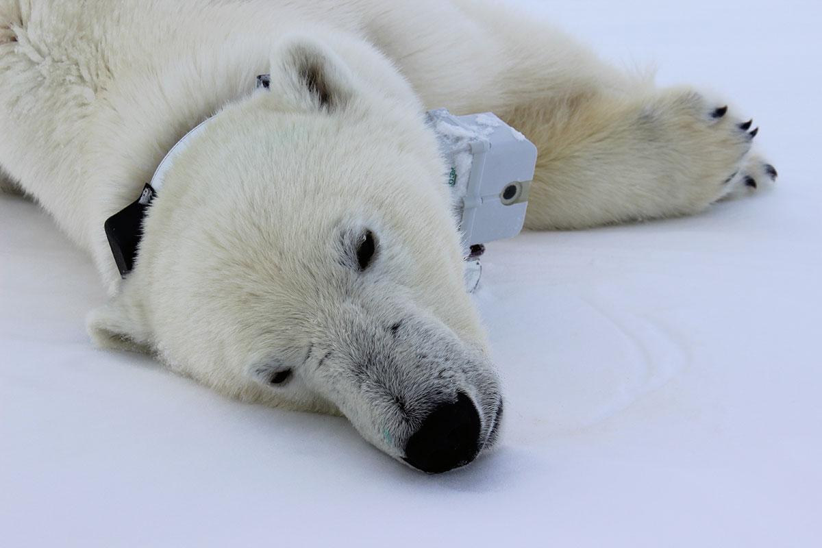 A polar bear with a GPS-video collar