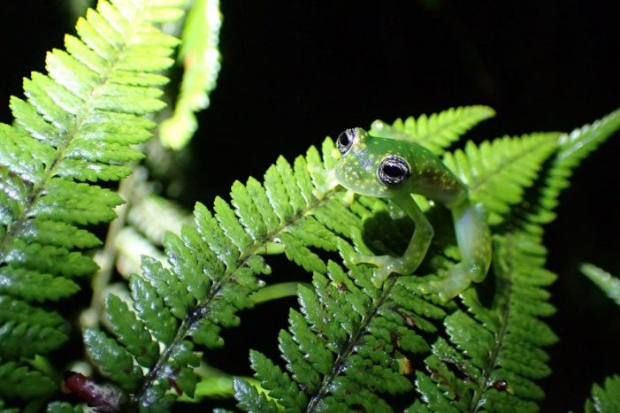 The frogs bouncing back after almost being wiped out by disease