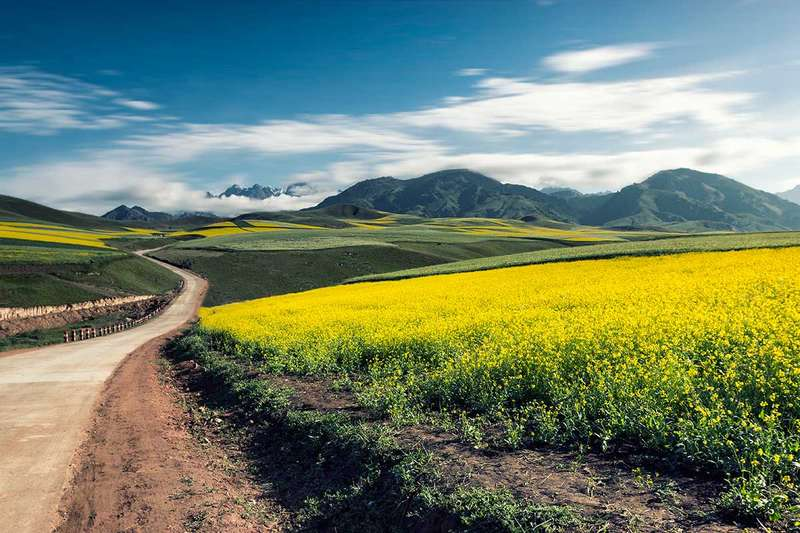 Oil seed rape is now farmed in the Qinghai-Tibet Plateau area