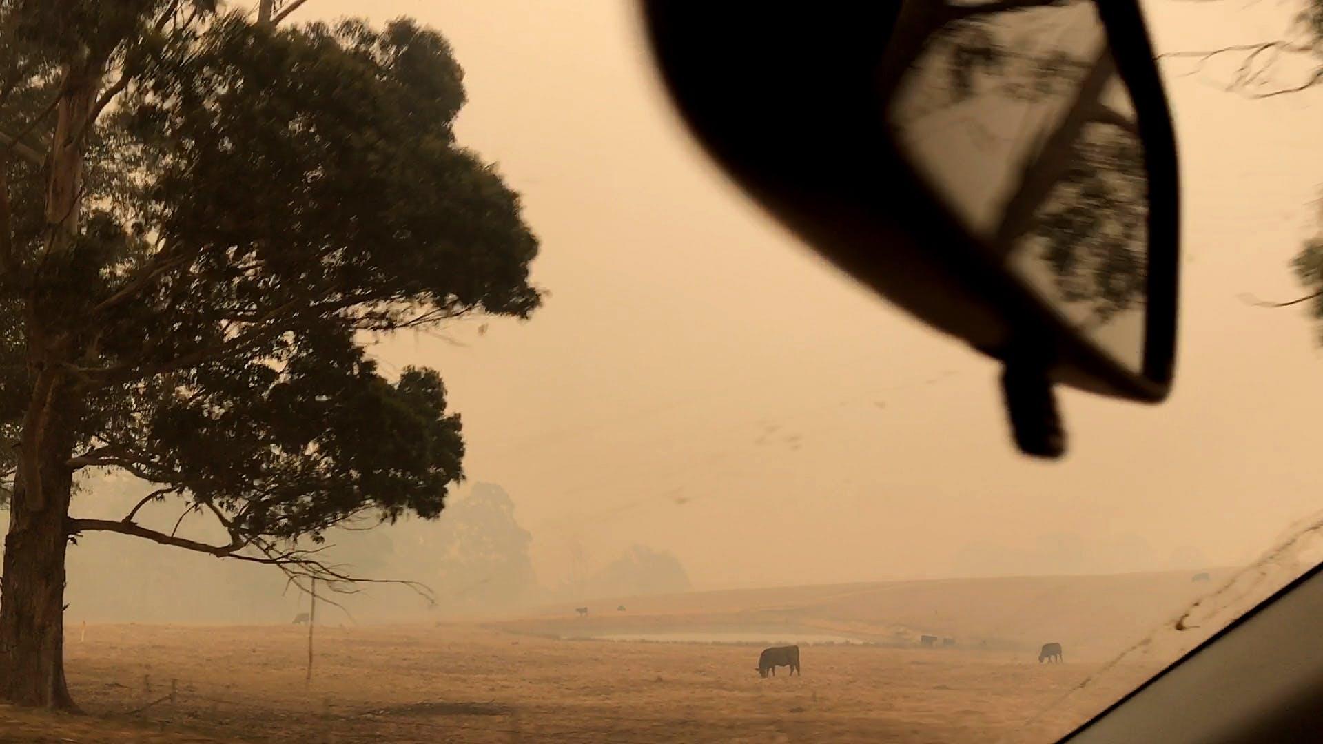 Cows-next-to-Mount-Darragh-Rd-drive-toward-Wyndham-fire-1577919665