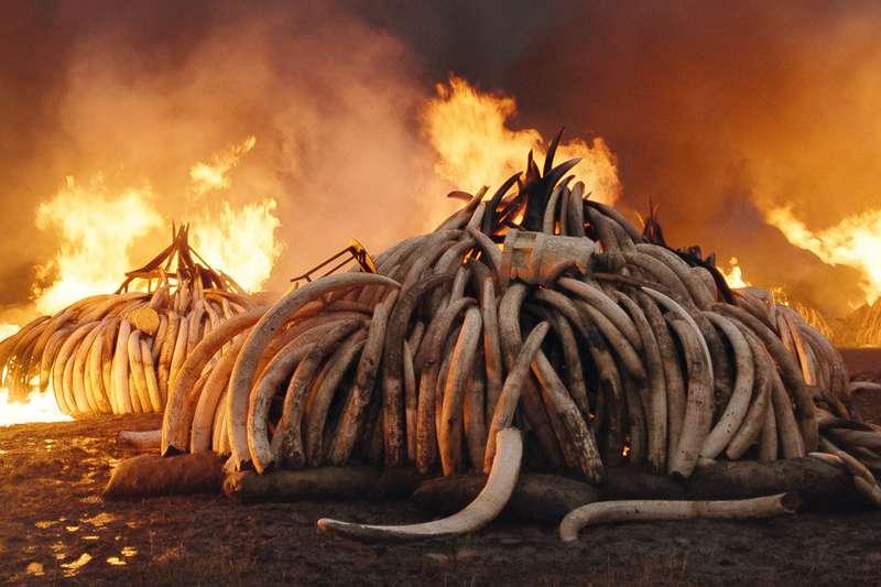 burning tusks